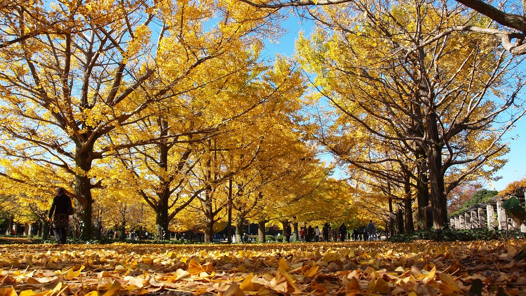 Best Autumn Leaves Spots in Tokyo #10 - Showa Memorial Park (aka Showa Kinen Park) 3