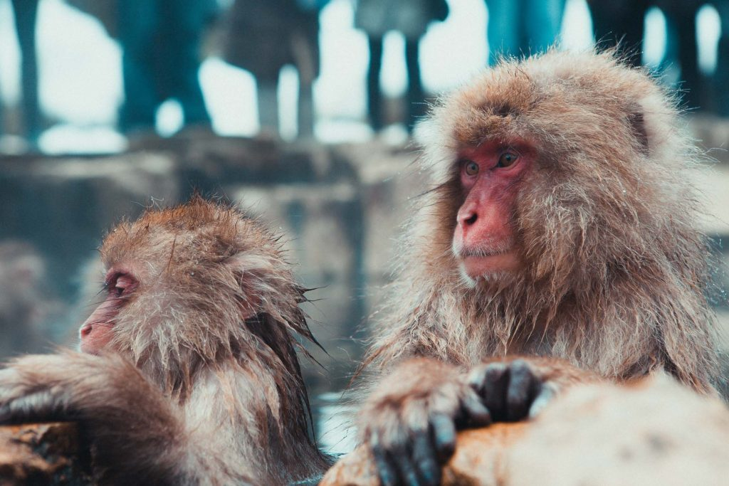 Snow Monkeys Japan 5