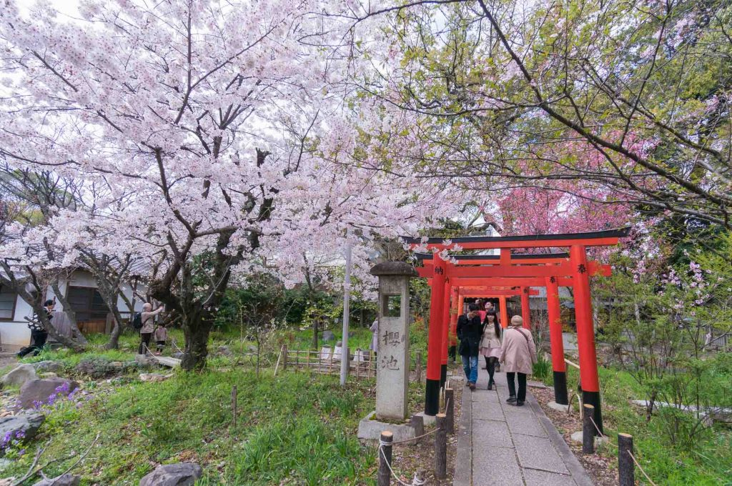 Best Cherry Blossom (Sakura) Spots in Kyoto - Hirano Shrine 2